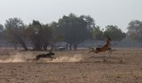 dog safaris `south Luangwa