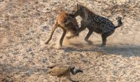 fighting hyena