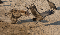 hyena chasing of vulture