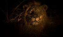 lion_nightdrive