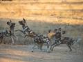 Dogs playfighting