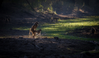 Scenery baboon