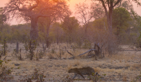 leopard luangwa