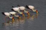 Birds of South Luangwa, Bird photography, Water birds, stork