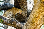 Leopards of South Luangwa, Leopards of the Valley, Leopard, Pathera Padrus