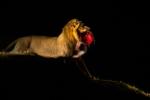 South Luangwa lions, evening safari, male lion